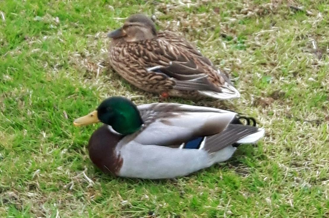 Quack quack!